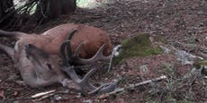 Blitz schlägt in Baum ein und tötet drei Hirsche