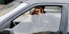 Hitzewelle! Diese Temperatur ist für Hunde gefährlich