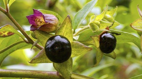 Die schwarzen Beeren des Nachtschattengewächs sollten keinesfalls gegessen werden!