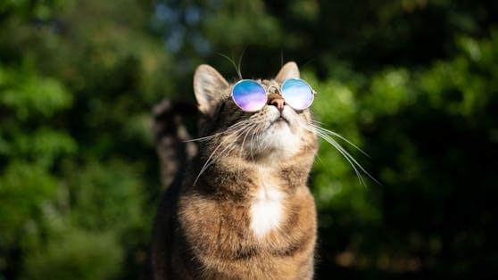 Auch wenn Katzen die Sonne in der Regel anbeten, kann ihnen zu große Hitze auch Probleme machen.