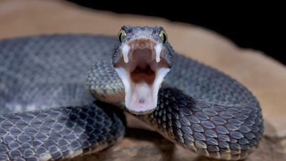 Wie geht wohl ein Kampf zwischen Giftschlangen aus?