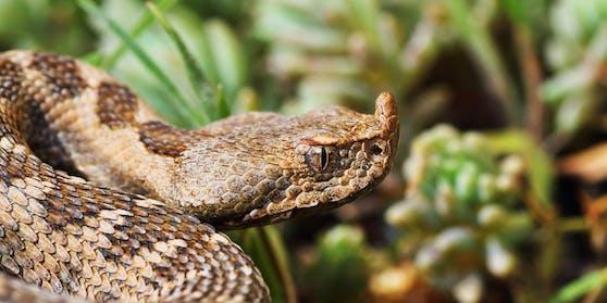Die Hornviper gilt als eine der giftigsten Schlangen in Europa. Ihr Biss endete nun für einen 23-Jährigen tödlich.