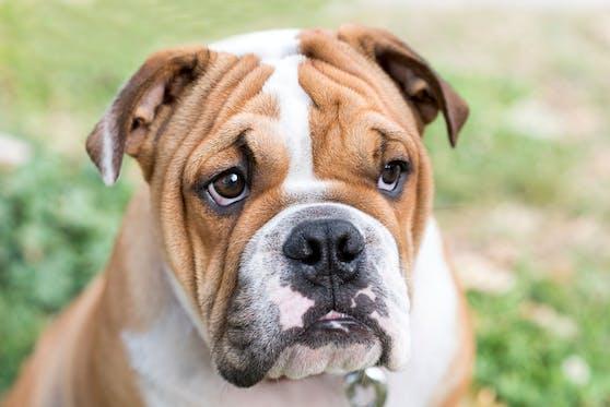 Stirbt die englische Bulldogge bald aus?