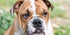 Stirbt diese beliebte Hunderasse bald aus?